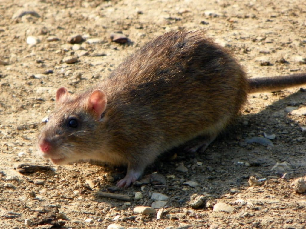 Rodents in Venice Florida